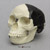 Piltdown Man Skull, 1912 Fraud