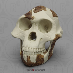 Australopithecus afarensis Skull Lucy light finish BH-021-A