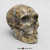 Homo neanderthalensis Skull - Sawyer/ Maley Reconstruction