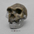 Homo heidelbergensis Bodo Skull and Jaw BH-041-C