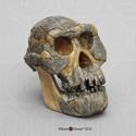 Australopithecus afarensis Skull A.L. 444-2