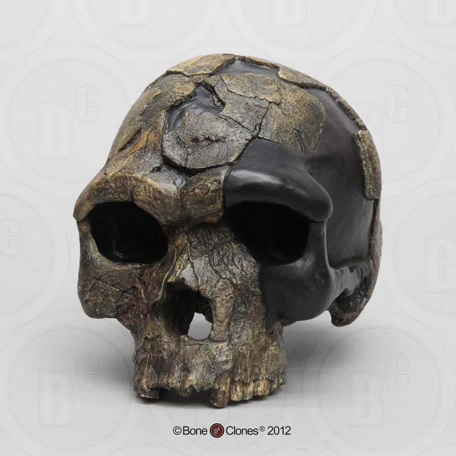Homo sapiens idaltu BOU-VP-16/1 Herto Skull - Bone Clones ...