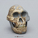 DNH 7 Australopithecus (Paranthropus) robustus BH-046