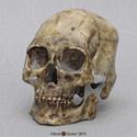 Kennewick Man Skull BH-047