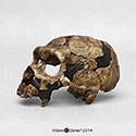 Homo neanderthalensis Shanidar 5 Cranium BH-051