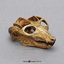 Cynodont - Probainognathus jenseni Skull CD-01