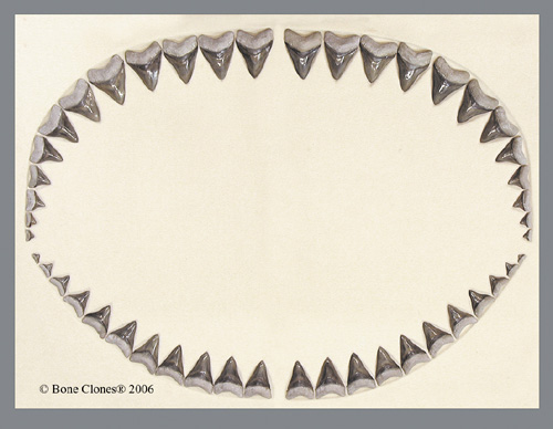 tooth clipart. megalodon tooth clipart