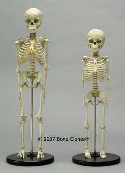 Human Skeletons 5-year-old Comparitive Set