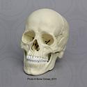 Magnetic Osteological Teaching Skull EZ-001
