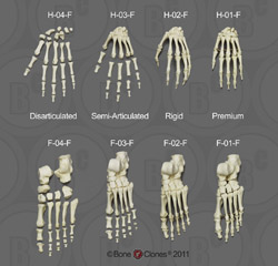 Human Female Skeletal Hands and Feet