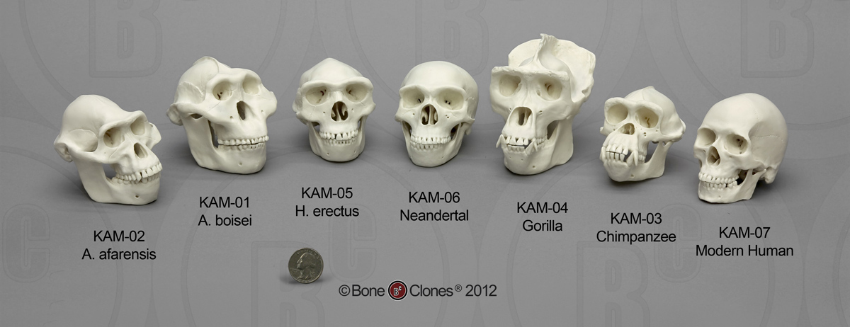 primate and hominin skulls Lab 2: hominid anatomy in section, you can handle skull casts of some of the non-human primates and some of the fossil hominids you'll also have a simple classification exercise based on the skeletal features this shows that this hominin was also a bipedal walker.