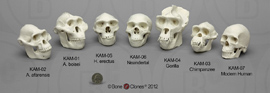 Set of 7 Primate Skulls, 1:2 scale KAM-SET-7