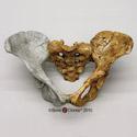 Australopithecus afarensis Lucy Pelvis, Articulated KO-036-PA