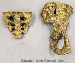 Australopithecus afarensis, Lucy - 1/2 pelvis & sacrum-KO-036-PS