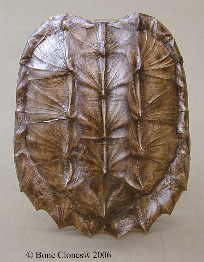 Snapping turtle shell - photo#1