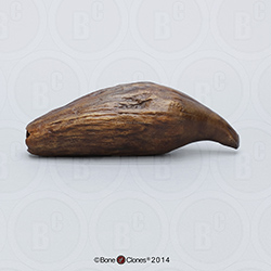 Fossil Giant Sperm Whale Tooth KO-042