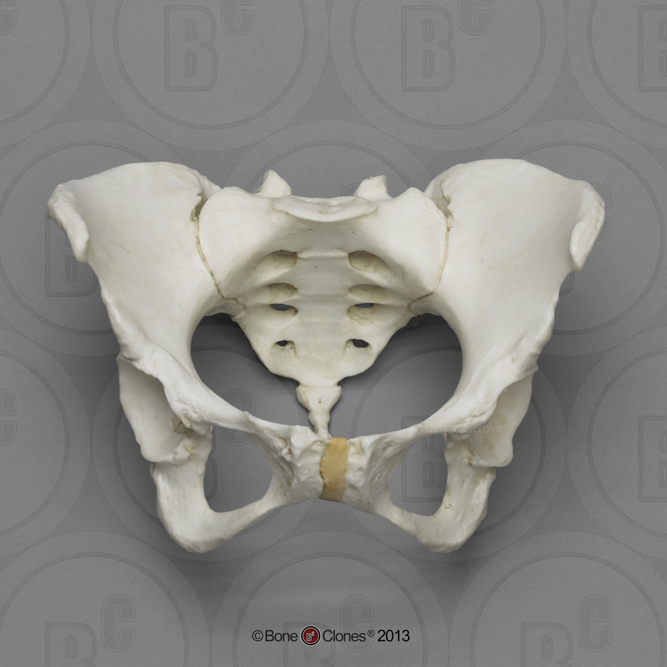Articulated Female Pelvis With Pits Of Parturition Bone Clones Inc Osteological Reproductions