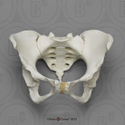 Human Female Pelvis Features of Pregnancy