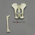 Female Chimpanzee Pelvis and Femur
