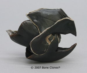 Giant Squid Beak KO-222
