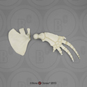 Bottlenose Dolphin Pectoral Fin (Flipper) and Scapula Set KO-233-SET