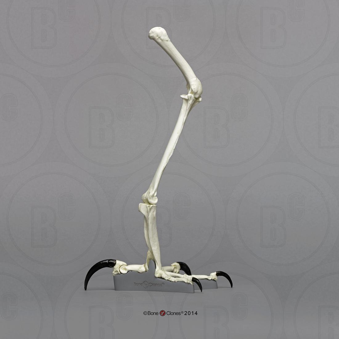 Here s a Harpy Eagle Leg  Eagle Leg Anatomy