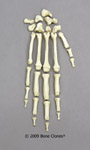 Chimpanzee Hand disarticulated