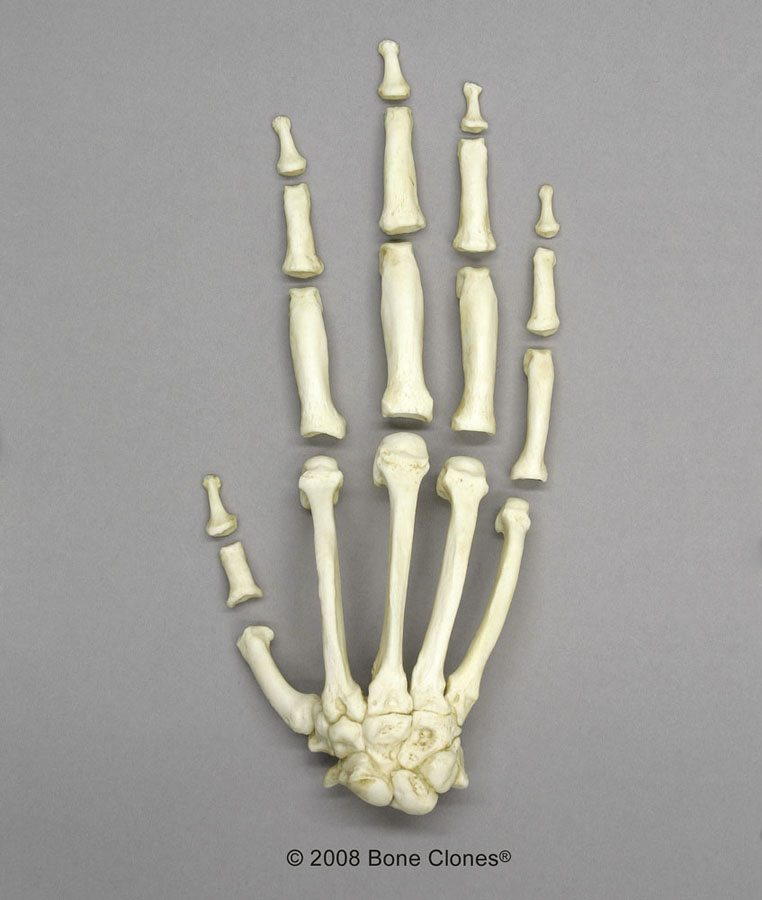 The hand of a chimpanzee: skeleton.
