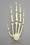 Chimpanzee Hand Semi-articulated