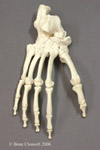 Chimpanzee Foot Articulated