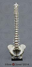 Human Male Vertebral Column with Magnetic Pelvis KO-315