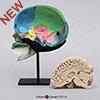 Color-Coded Human Sagittal Cut Half Skull with Brain Hemisphere