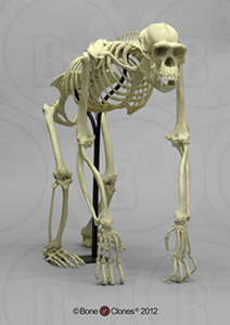 Articulated Chimpanzee Skeleton