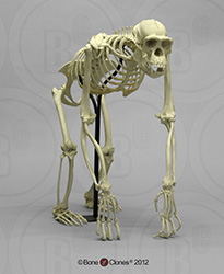 Chimpanzee Skeleton Articulated SC-003-A
