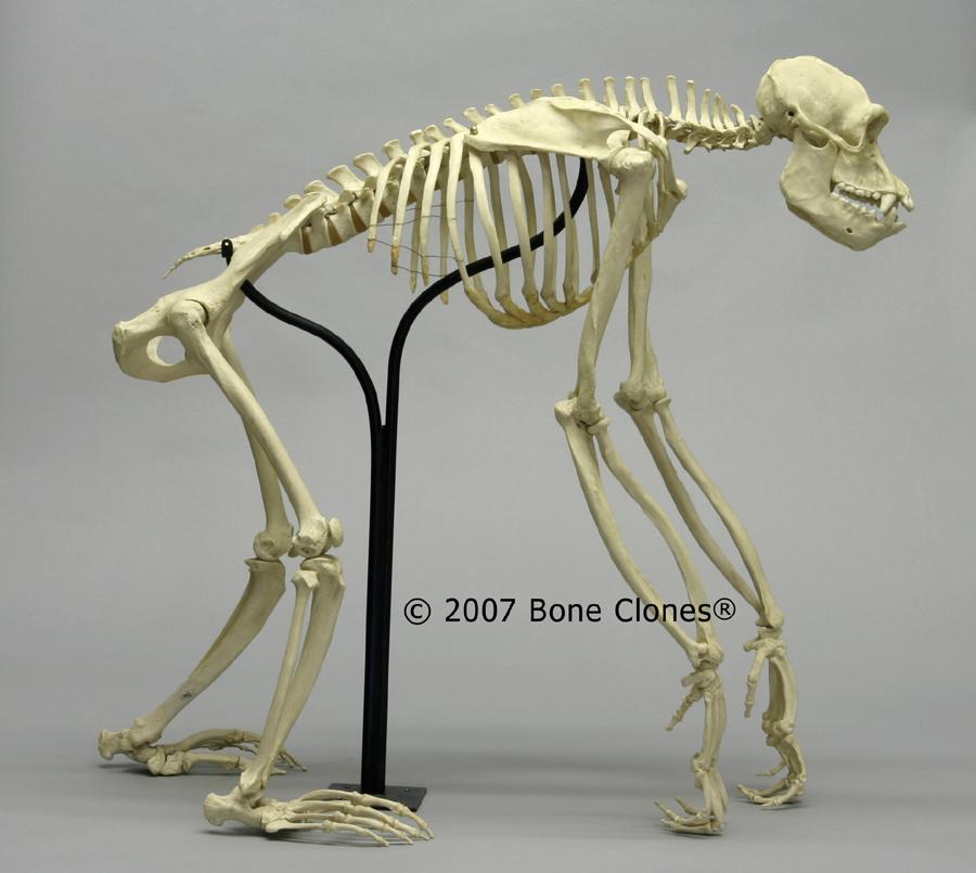 Male Chimp Hyoid - Bon...