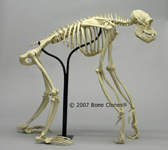 Articulated Chimpanzee Skeleton Profile
