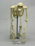 Articulated Chimpanzee Skeleton Frontal