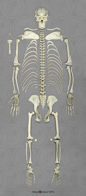 Disarticulated Chimpanzee Skeleton SC-003-D
