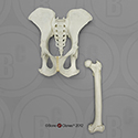 Male Chimpanzee Pelvis and Femur SC-003-PF