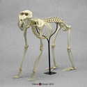 Mandrill Baboon Skeleton Articulated SC-010-A