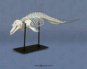 Articulated Atlantic Bottlenose Dolphin Skeleton SC-033-A