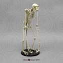 Siamang Skeleton Articulated SC-047-A