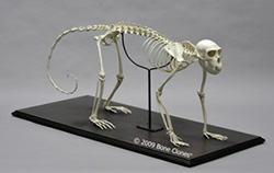 Vervet Monkey Skeleton, Articulated SC-069-A