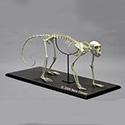 Vervet Monkey Skeleton Articulated SC-069-A