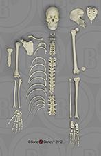 Human Male Asian Half Skeleton SC-092-DH