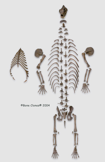 http://www.boneclones.com/images/sc-114D_web-lg.jpg