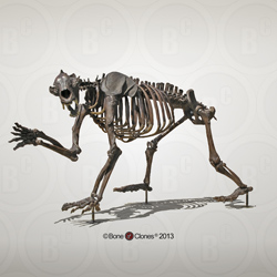 Articulated Short-faced Bear Skeleton Quadruped Mount SC-114-AQ