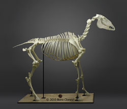Articulated Horse Skeleton SC-125-A