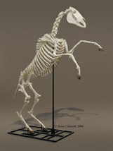 Custom Articulated Horse Skeleton