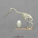 Articulated Kiwi Skeleton and Egg